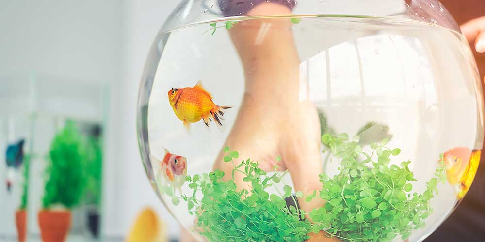 Why Fish Feeding or Having Aquarium at home is Good According to Feng Shui